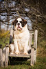 St. Bernard in a chair