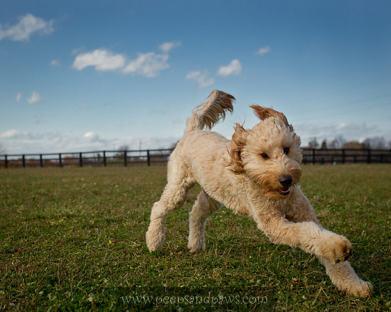 A golden doodle coming to greet us at the dog park on 11.14.2011