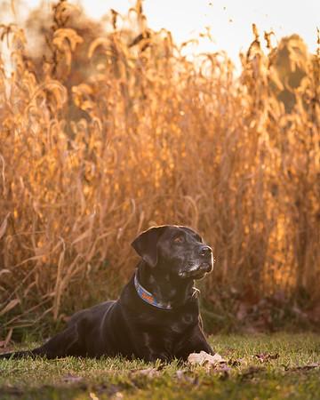black lab in a field