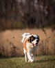 St. Bernard walking