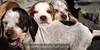 Coon hound puppies