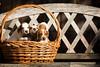 Coon hound puppies in a basket