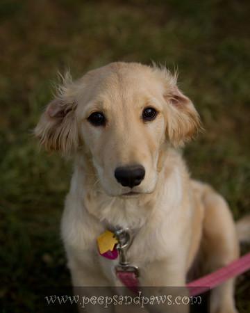 Pippa at Kenny McPeek's barn.  Owned by Alaka Branham. Golden Retriever puppy