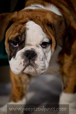 English Bull Dog puppy