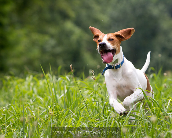 Coon hound puppy running with big ears flying