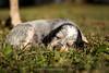 Coon hound puppy