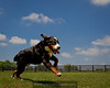 Aubrey - a 9 month old Burnese Mountain dog running free who is owned by sculptor Alexa King.