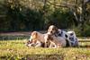 coon hound puppy pile