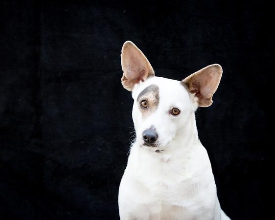 small dog portrait for the Lexington Humane Society