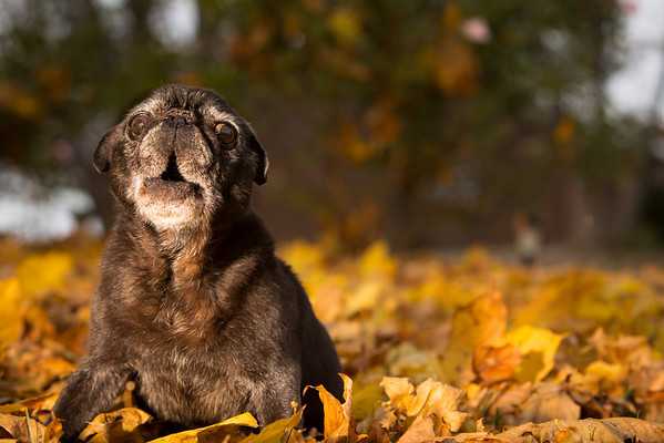 an old pug's portrait in a pile of fall leaves