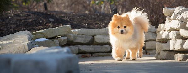 pomeranian dog portrait on a park walkway