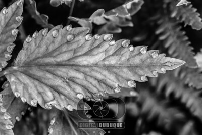leaf_guattation_12x18_300dpi