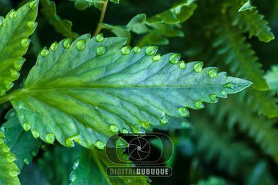 leaf_guattation