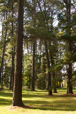 Tall pine tree forest