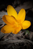 A new spring yellow crocus.
