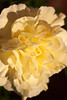 Closeup of a yellow silk carnation caught in the afternoon sunlight.