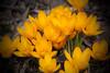 Macro shot of new yellow crocus.