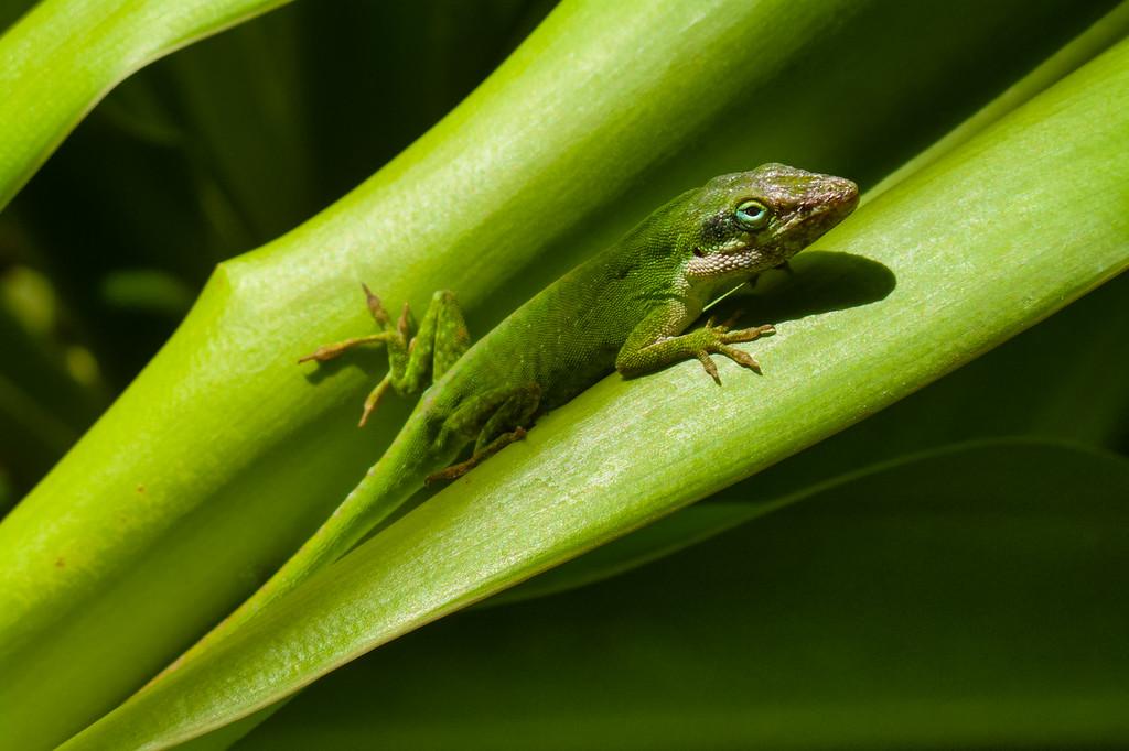 IMG_1237_Green Lizard