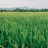 Paddy Crops in Kedah. Wide-Shot