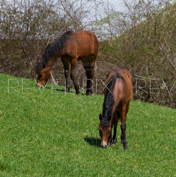 2 Horses grazing on a grassy hill. focus is on front horse. eating lunch.