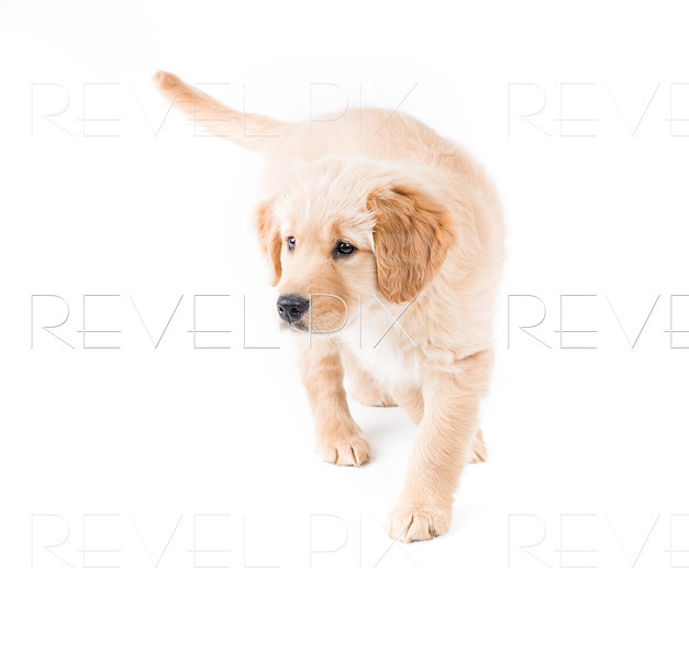 Retriever Puppy Walking Toward