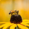 a bee pollinates a black-eyed susan flower. macro