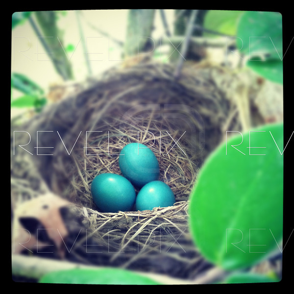 Mobilestock: a shot of blue robin eggs in a nest.<br /> shot with an apple iphone and selective focus and border created in instagram