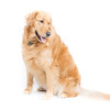 Adult Golden Retriever Sitting Looking Right
