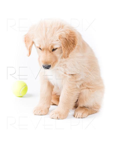 Retriever Puppy Looking Down