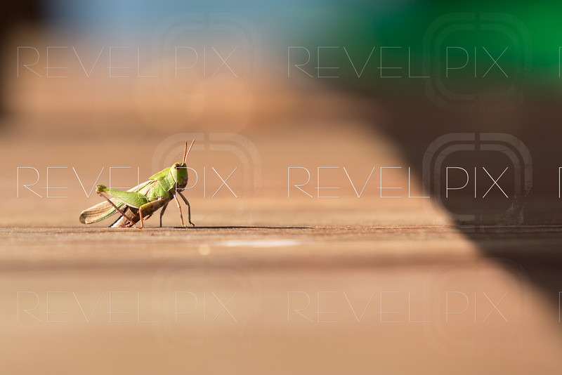 a grasshopper is poised on a wooden deck. shallow depth of field. copyspace.
