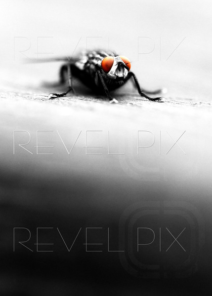 a stylized macro shot of a fly. black and white with orange isolated eyes. shallow depth of field