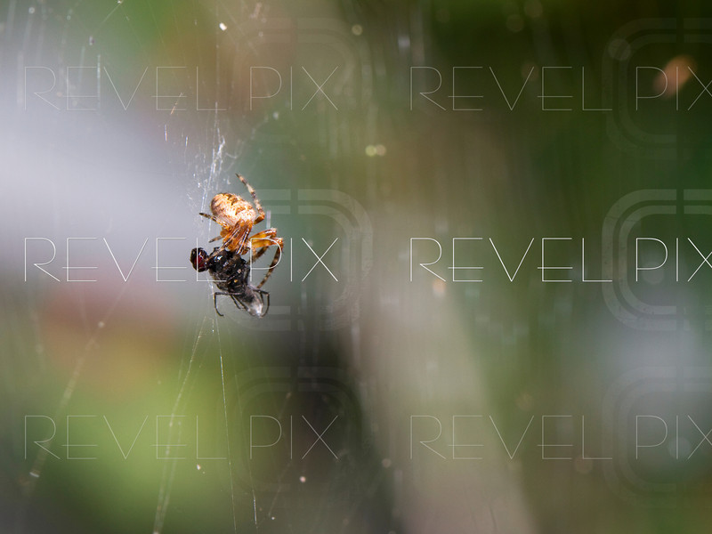 a macro shot of a spider wrapping up a fly in its web