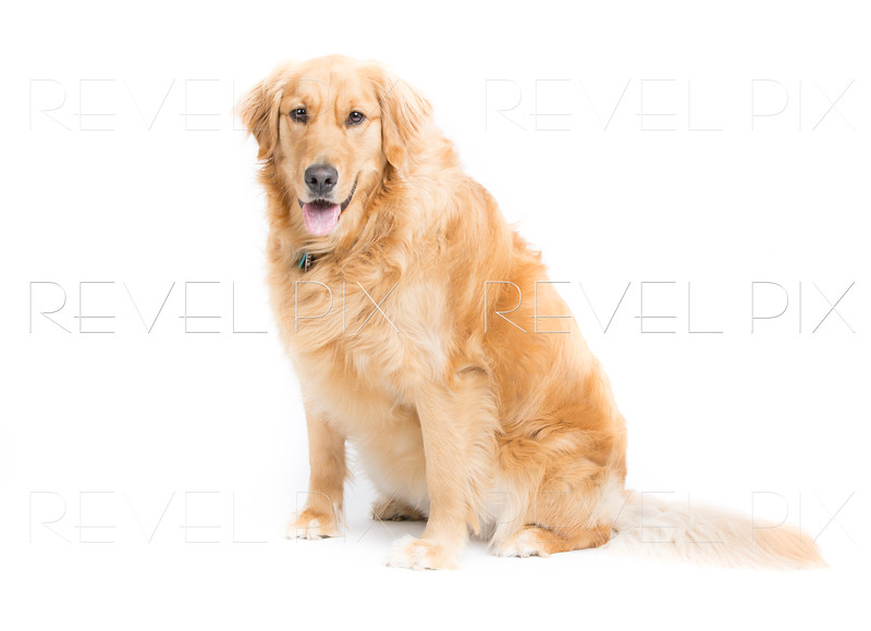 Adult Golden Retriever Sitting Looking at Camera