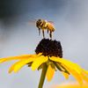 A great shot of a bee takin off from a black eyed Susan flower