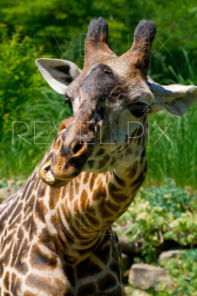a close up shot of a giraffe outside eating