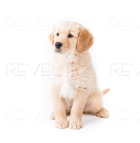 Retriever Puppy Sitting Looking Left