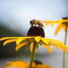 a bee sucking nectar out of a black-eyed susan flower. macro