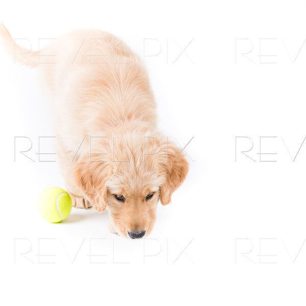 Retriever Puppy Sniffing