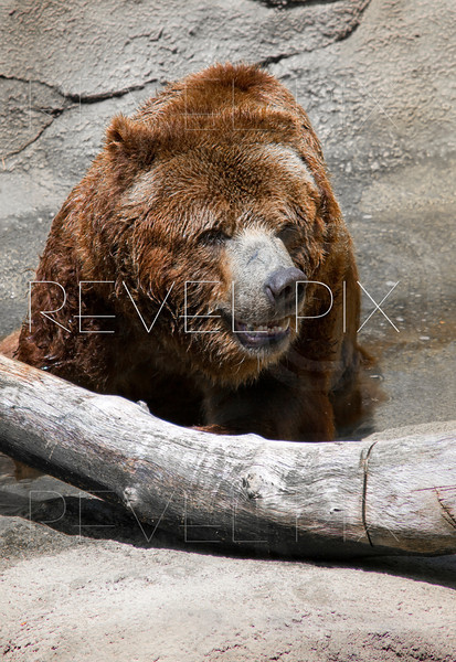 a brown bear walking in a stream next to a log