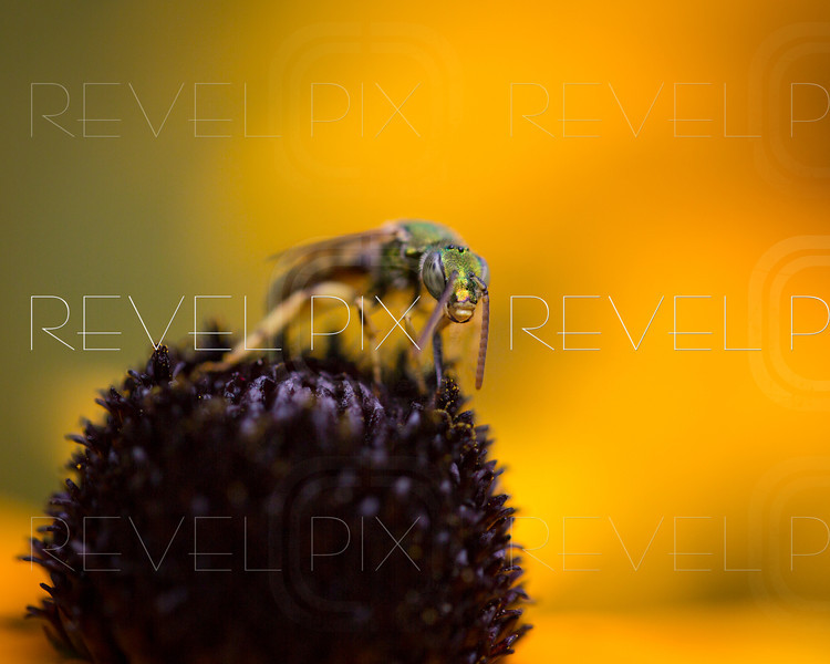 a macro of a green bee on top of a black eyed susan flower.