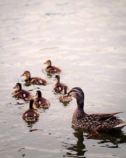 a mother duck follows her young in water. shallow depth of field. focus on mother duck