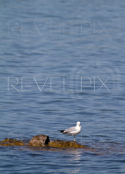a lonely seagull stands with one foot on a rock just above the calm water surface. copyspace above
