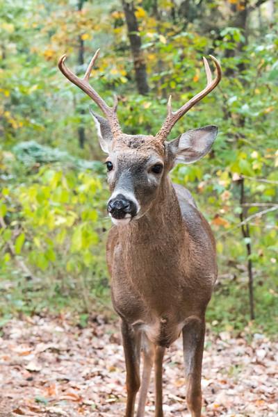 Deer White tail