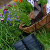 gardener pours soil into hanging basket, blurred motion on soil to show action of pouring. empty containers in foreground out of focus.