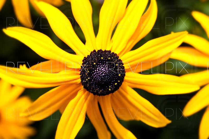 a close up macro shot of a black-eyed susan flower