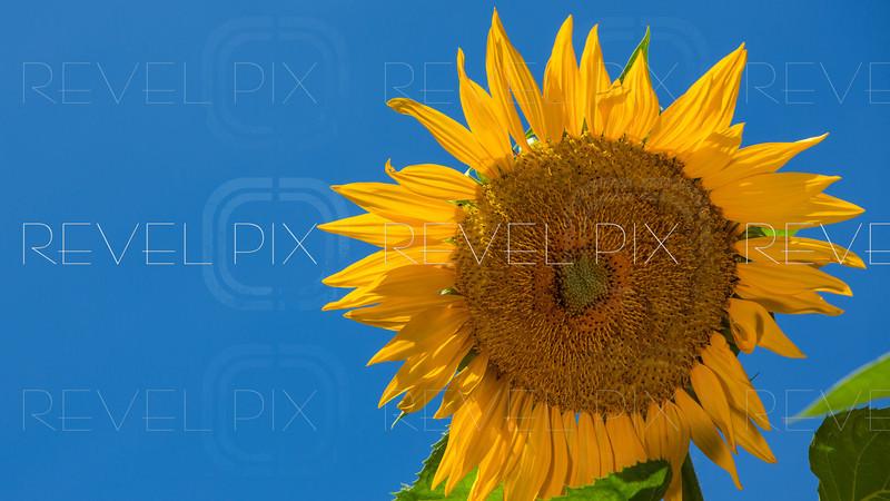 a sunflower head against a blue sky. simple. copyspace