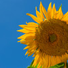 a sunflower head against a blue sky. simple. copyspace