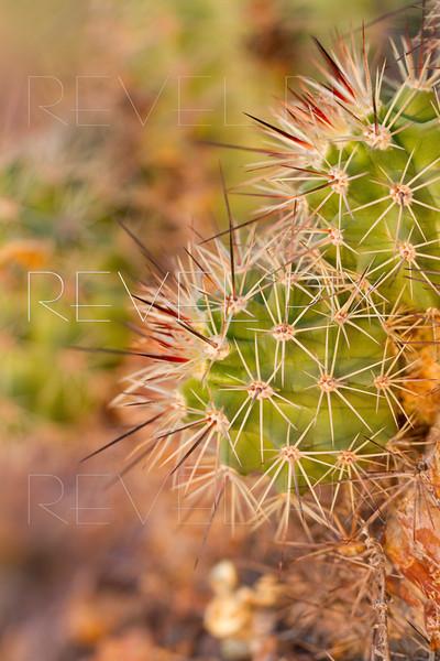 a macro shot of cactus prickers.