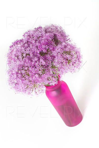 an angled studio shot of some Allium Lucy Ball Flowers in a pink vase. shot on a white background.