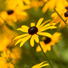 a shallow depth of field shot of a field of black-eyed susans. focus on middle flower